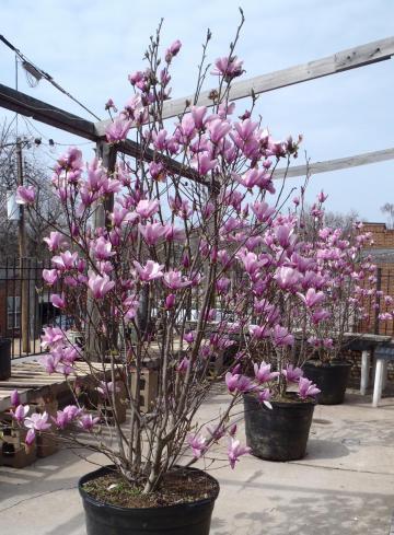 Magnolie la ghiveci, pret magnolie, livrare magnolie la domiciliu