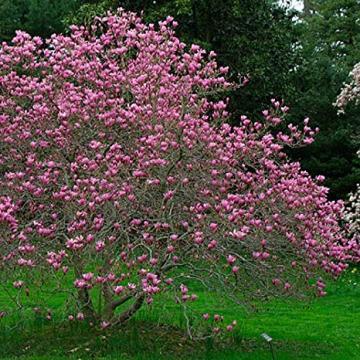Magnolie ieftina, preturi magnolii, oferta magnolie