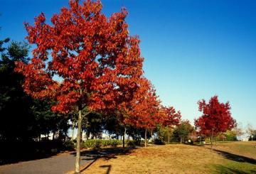Stejar rosu ornamental