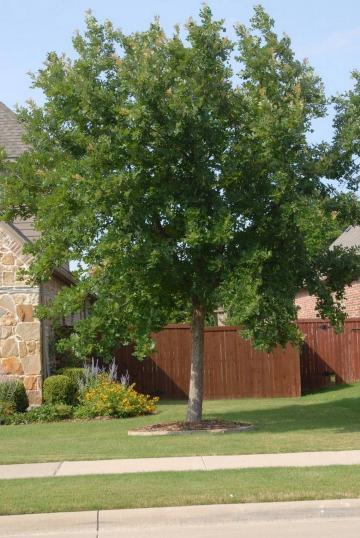Stejar verde