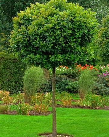 Stejari verzi pepiniera Bucuresti, pepiniere stejari oferte, preturi stejari amenajari gradini