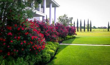 trandafiri cataratori ieftini, trandafir catarator de gradina Bucuresti, livrari trandafiri cataratori oferte