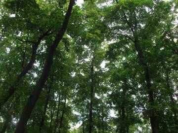 vanzare stejari Brasov Ploiesti